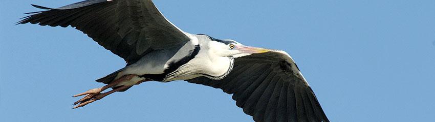 Graureiher im Flug | Foto: NABU/Tom Dove