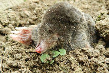 Bodenschutzbelange – u.a. auch der Schutz von Bodenlebewesen wie dem Maulwurf – sind besonders bei der Verlegung von Erdkabeln zu berücksichtigen. Foto: R_by_Peter Hill_pixelio.de