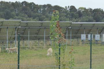 Schafe grasen zwischen den Photovoltaik-Modulen. Foto: NABU/Andrea Mokenthin-Kessler